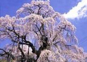 しだれ桜が見頃