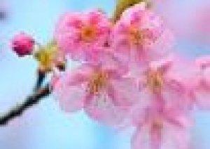 岡山で開花宣言
